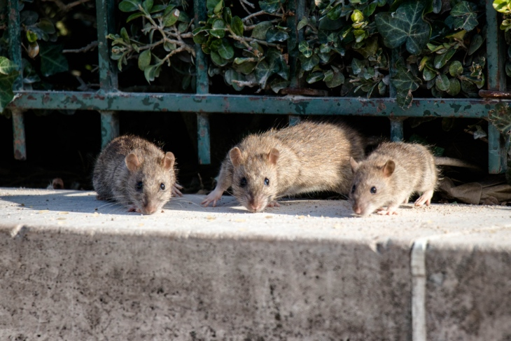 Rats - Born To Breed Quickly